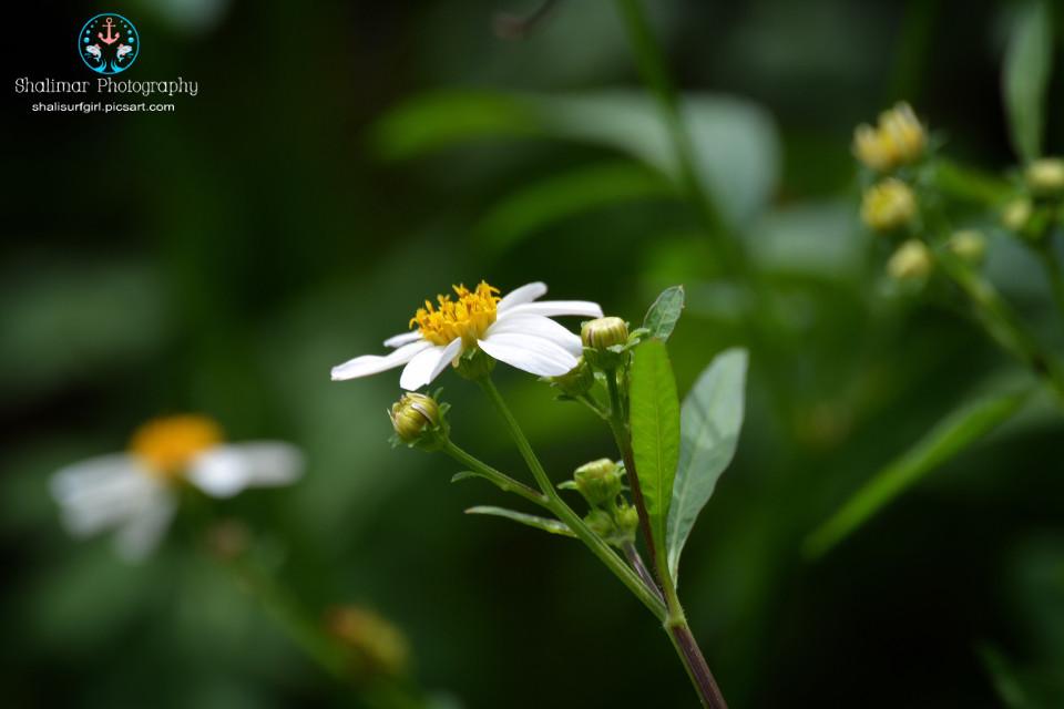#white #flower   #nature #natureaddict #natural #photography #nikonphotographers #nikond5200 #nikonistas #nikonnofilter